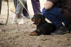 Милый щенок rottweiler на первой встрече стоковая фотография
