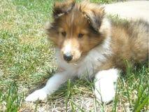 Милый щенок sheltie стоковые фото
