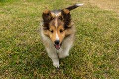 Милый щенок Shetland Shepperd стоковое фото rf