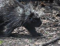 Милый critter от Северной Америки с шиповатыми quills стоковые изображения rf