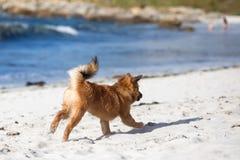 Милый frolic бегов щенка вдоль пляжа стоковая фотография
