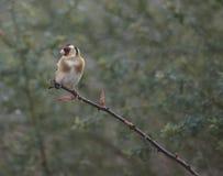 Милый goldfinch на ветви Стоковое Изображение