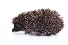 милый hedgehog Крупный план quill ежа шип ежа берет quills на острие как предпосылка текстуры Еж любое колючее Стоковое фото RF