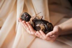 Милый newborn щенок в руках Стоковая Фотография RF