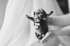 Милый newborn щенок в руках Стоковые Изображения