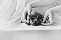 Милый newborn щенок в руках Стоковое Изображение