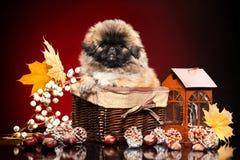 Милый pekingese щенок в плетеной корзине Тема осени младенца животная стоковое изображение