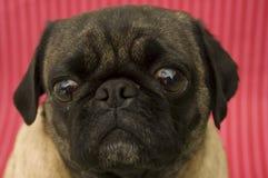 милый pug Стоковая Фотография