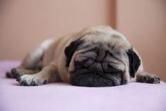 милый pug Стоковые Изображения RF