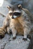 милый raccoon Стоковые Фотографии RF