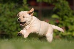 милый retriever щенка labrador Стоковая Фотография RF