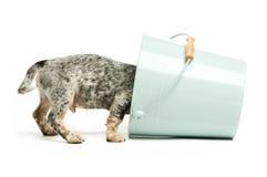 милый terrier щенка Стоковая Фотография RF