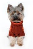 Милый terrier yorkshire в одеждах зимы Стоковые Фотографии RF