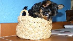 милый terrier yorkshire Стоковые Фото