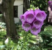 Милым метки цветка Foxglove запятнанные пурпуром стоковые фотографии rf