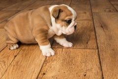 Милым сморщенный коричневым цветом щенок бульдога в студии стоковые изображения
