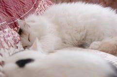 2 милых белых кота Стоковое Изображение