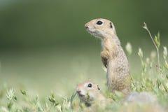 2 милых европейских земных белки стоя и наблюдая на поле зеленой травы Стоковые Фото