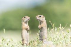 2 милых европейских земных белки стоя и наблюдая на поле зеленой травы Стоковая Фотография RF
