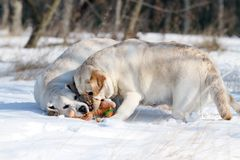 2 милых желтых labradors в зиме в снеге с игрушкой Стоковые Изображения