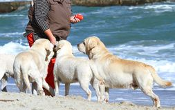 4 милых желтых labradors играя на море Стоковые Изображения