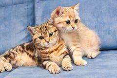 2 милых золотых великобританских котят с зелеными глазами стоковая фотография