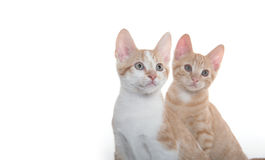 2 милых котят на белизне Стоковая Фотография