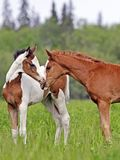 2 милых ослята, пегая лошадь и каштана лошади на свежем лете pasture, приветствующ один другого Стоковое Фото