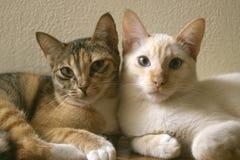 2 милых отечественных кота коротких волос snuggle друг с другом 2 котят полагаясь на одине другого совместно как друзья стоковое изображение