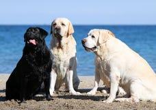4 милых симпатичных labradors играя на портретах моря Стоковое Фото