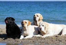 4 милых labradors играя на портретах моря Стоковое Фото