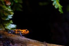 Мимическая лягушка отравы, оранжевая черная синь Стоковые Фотографии RF
