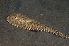 Мимический осьминог Стоковое Фото