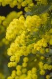 Мимоза в цветени Стоковое Фото