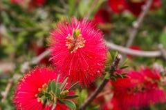 Мимоза Pudica цветка Стоковые Фото