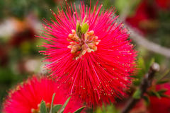 Мимоза Pudica цветка Стоковое Фото