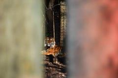 Мимолётный взгляд тигра Стоковое Изображение