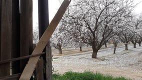 Миндалина и ее красота зимы стоковые фото