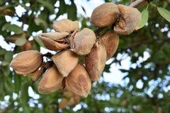 Миндалина на дереве Стоковое фото RF