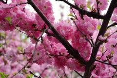 Миндальное дерево в цветени Ветви с красивыми розовыми цветками стоковая фотография rf