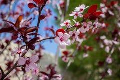 миндальное дерево в цветени с розовыми цветками стоковое изображение