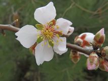 Миндальное дерево зацветает в феврале на адриатическом побережье Стоковые Фото