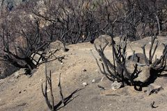 Миндальное дерево после огня стоковые изображения