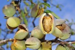 миндальное дерево стоковое фото