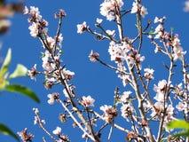 миндальное дерево 3 Стоковые Изображения