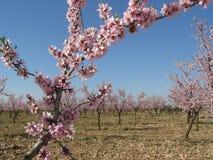 миндальное дерево Стоковая Фотография RF