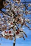 Миндальные деревья в цветени под голубым небом Стоковая Фотография RF