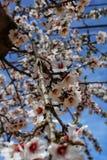 Миндальные деревья в цветени под голубым небом Стоковые Изображения