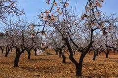 Миндальные деревья в цветени под голубым небом Стоковые Фото