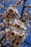 Миндальные деревья в цветени под голубым небом Стоковое Изображение RF